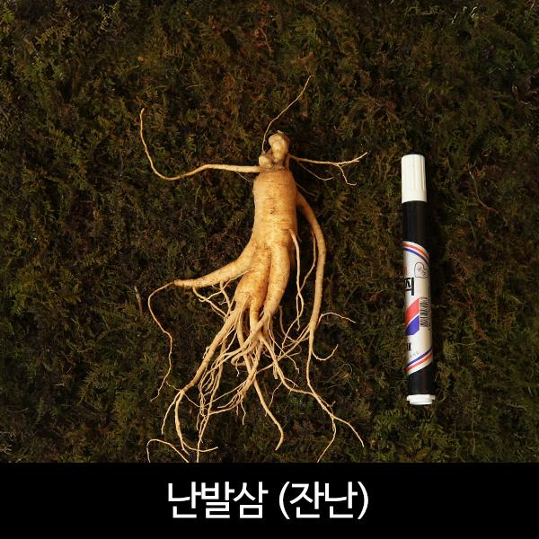 수삼 잔난발삼  (22뿌리내외, 500g)